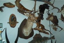 Tierpräparation Genser